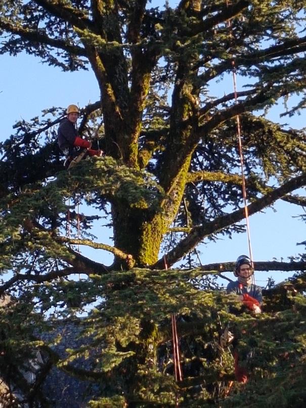 Elagage taille et soin des arbres la charmille paysagiste