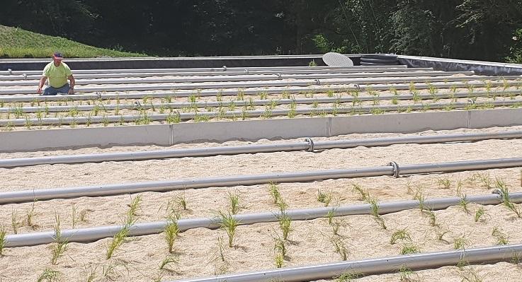 plantation filtre en phragmites station d'épuration la charmille paysagiste mauriac salers